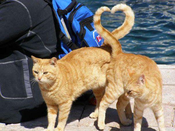 ini kucing kembar bisa bentuk tanda love gitu ekornya
