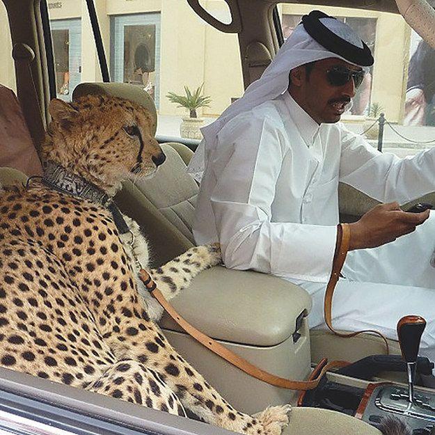 WEW! Ini Salah satu Hewan Peliharaan Orang Sana, Cheetah !