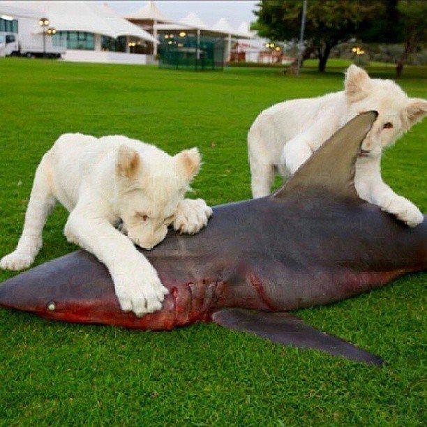 Hewan Peliharaan Singa Putihpun di Kasih Makan Ikan Langka!