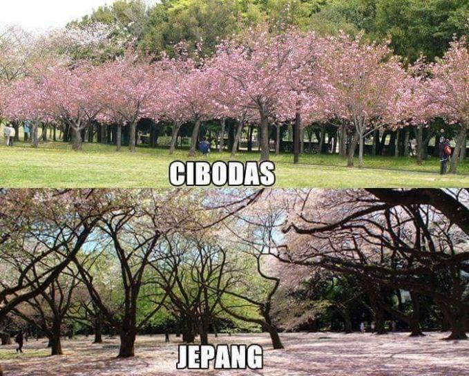 Mau liat bunga Sakura nggak perlu ke Jepang. Di kebun raya Cibodas ini kamu juga bisa liat bunga Sakura kok.