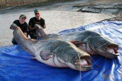 Serem! Kumpulan Ikan Lele Raksasa Ini Bisa Memakan Manusia Utuh