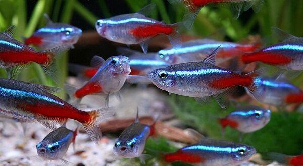 Ikan Hias Air Tawar Neon Tetra Nan Cantik