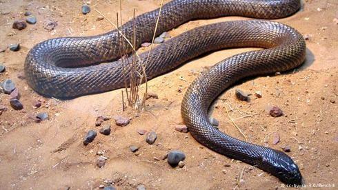 Dapat ditemukan di bagian Timur Australia adalah salah satu ular berbisa paling mematikan di dunia. Racunnya sangatlah berbahaya dimana 50 kali lebih kuat dari racun cobra dan dikatakan 1 gigitan ular taipan dapat membunuh hingga 100 manusia atau lebih dari 200.000 tikus.