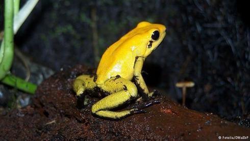 Katak Panah atau Dart Frog ini banyak ditemukan di daerah Amerika Selatan. Memiliki warna kulit yang indah dan kadang mengundang manusia untuk menangkapnya. Namun katak berukuran panjang 5 cm ini memiliki kandungan racun emas pada lidahnya yang berbentuk anak panah, yang konon mampu membunuh 20 ribu tikus atau 10 manusia dewasa ataupun mamalia besar.