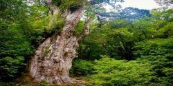 Pohon-pohon Ini lebih tua ribuan tahun darimu Lho!