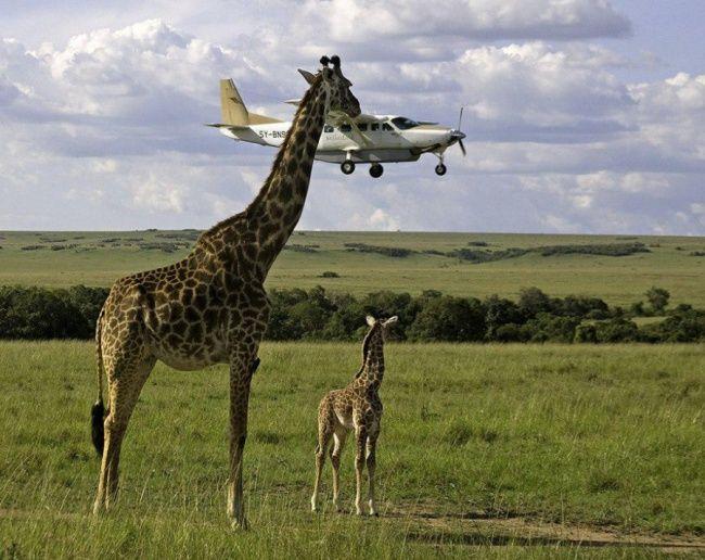 Wah..ada jerapah mengangkat pesawat!