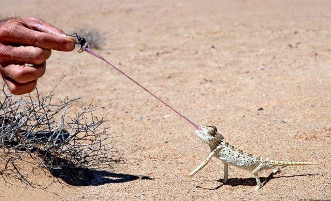 Itu bukan tali ya kliklinker, itu lidah kadal gurun.