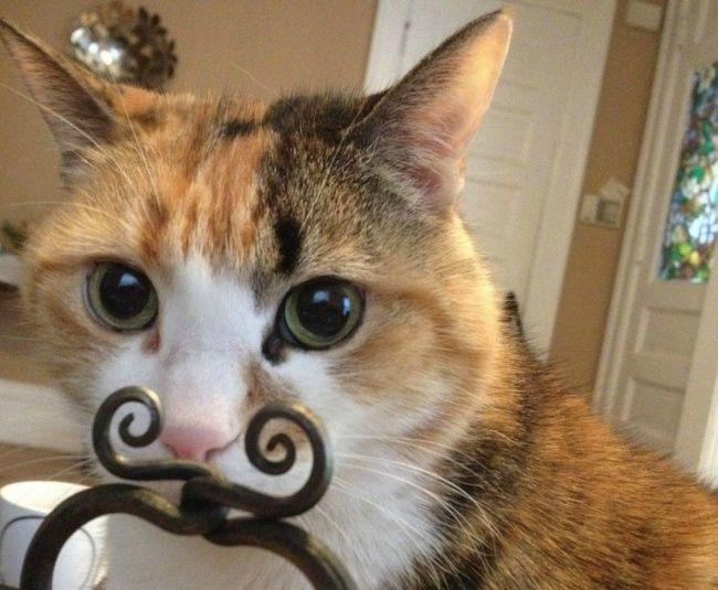 Kucing berkumis besi.
