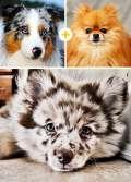 Lihat, Ini Hasil Perkawinan Anjing-Anjing Berbeda Ras..Cute!