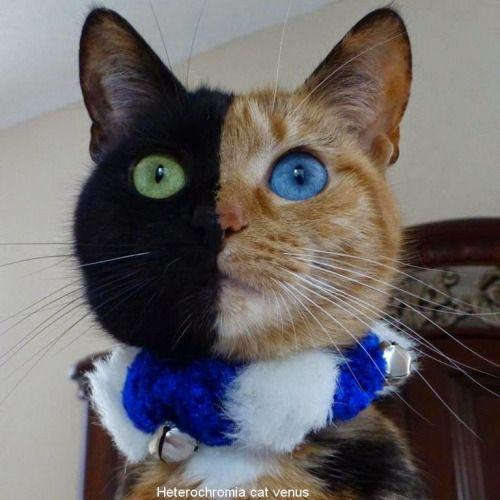 wah ini, kucing venus yang terkenal, wajahnya asli emang gitu loh!