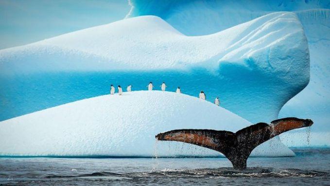 #2 Para penguin berbondong-bondong melihat paus
