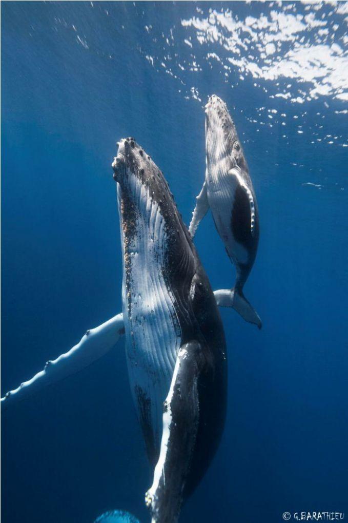#5 Anak paus dan induknya yang akan ke permukaan untuk mengambil napas