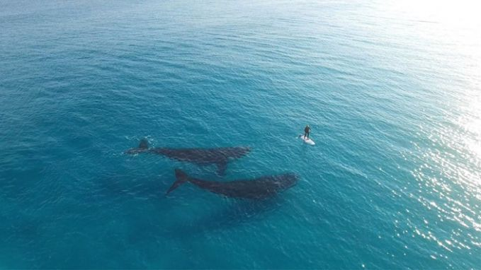 #6 Peselancar yang di bawahnya ada dua ekor paus