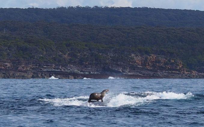 #9 Anjing laut yang menaikin paus