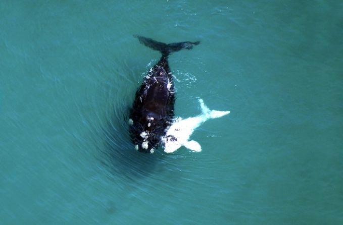 #14 Induk paus dengan anaknya yang albino