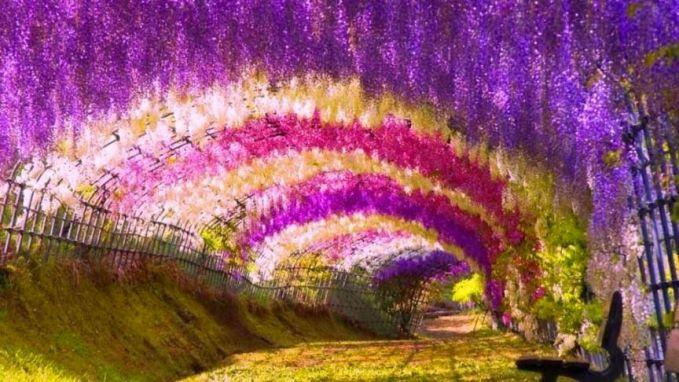 Terowongan Bunga Wisteria Kawachi Fuji Garden di Kitakyushu, Jepang. Taman tersebut merupakan tempat yang dikembangkannya 20 jenis bunga Wisteria, dan di sana ada sebuah terowongan yang dipenuhi bunga tersebut di sekelilingnya yang membuat tempat tersebut seperti tidak nyata.