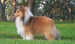 10 Jenis Ras Anjing Terpintar di Dunia...!!!