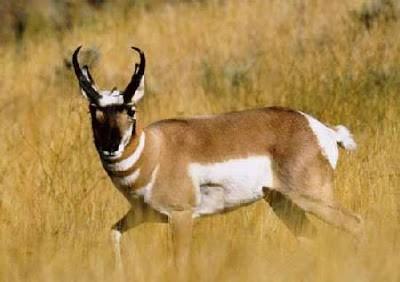 ANTELOP - 61 Mil/jam (80 Km/jam) Binatang ini juga ditenggarai sebagai second fastest animal di dunia, kecepatan maksimal binatang ini sangat sulit untuk dipastikan secara akurat, itu karena tiap individu binatang ini memilik kemampuan yang berbeda beda, binatang ini juga memiliki kemampuan sprint lebih lama karena didukung ruang paru paru dan jantung yang lebih besar.