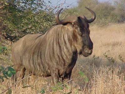 WILDEBEEST - 50 Mil/jam (80 Km/jam) Wildebeest adalah binatang lain yang menyandarkan hidupnya pada kecepatannya untuk menghidar dari pemangsa, binatang ini adalah makanan favorit kucing besar, itu karna habitat Wildebeest didaratan terbuka Afrika, mreka adalah komunitas terbanyak yang bisa hidup sampai 20 tahun