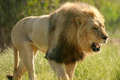 SINGA - 50 Mil/jam (80 Km/jam) Raja dari segala pemburu, Singa, tidak perlu memiliki kecepatan untuk menjadikan dirinya sebagai yang terbaik diantara yang terbaik, dalam berburu untuk melangsungkan hidupnya, mayoritas dikerjakan oleh singa betina, namun singa jantan yang emosi bisa berlari mencapai kecepatan 80km/jam