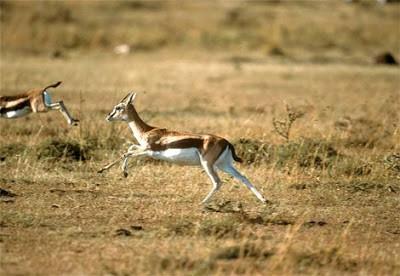 RUSA THOMPSON - 50 Mil/jam (80 Km/jam) Dinamai setelah penemunya, Joseph thompson, Rusa Thompson diakui di dunia sebagai rusa terbaik, baik dari segi bentuk fisik, kecepatan, juga kecerdikannya dibanding jenis rusa lainnya, dalam rangka menghindari musuh utamanya cheetah, rusa ini bisa mencapai kecepatan 80 km/jam disertai dengan pergerakan zigzag yang membingungkan, rusa ini juga memilik ketahanan lebih baik dari cheetah.