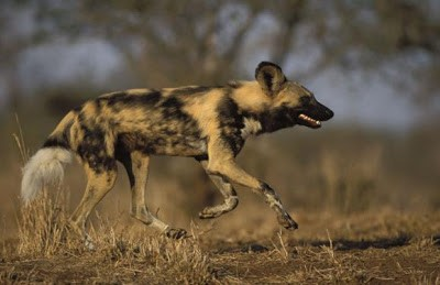 ANJING PEMBURU - 45 Mil/jam (72 Km/jam) Anjing ini menggabungkan antara kecepatan dan kecerdikan dalam memburu mangsanya, mereka berburu secara berkelompok dan sangat teroganisir, salah satu anjing mengarahkan mangsanya kesatu tempat, dan ajing lainnya siap menyerang silih berganti sampai mangsa tak berdaya.