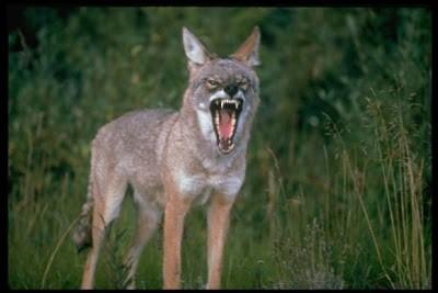 COYOTE - 43 Mil/jam (68.8 Km/jam) Coyote menggunakan kecepatan mereka untuk berburu binatang menyusui kecil seperti kelinci, tikus-tikus, tupai, rusa dan ternak, binatang pemakan daging ini, hidup berkelompok, dan memburu sepanjang musim.