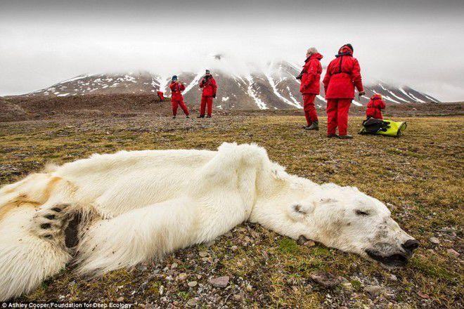 Foto 7 : Perburuan Liar Semakin banyak lho, beruang kutub yang kelaparan dan mati seperti ini. Bukannya apa, jelas ini sebuah tanda-tanda kalau pemanasan global sudah di depan mata.