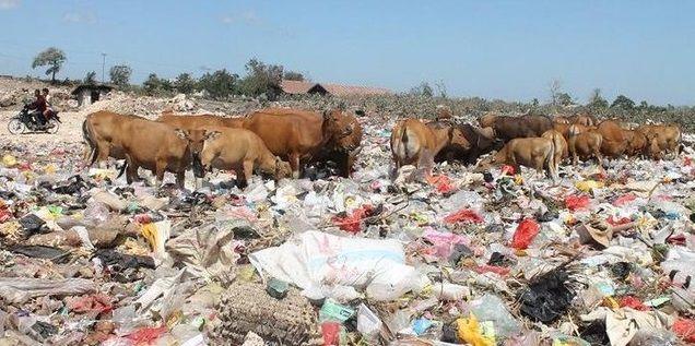 #2 Sapi pun merasakan sensasi kehadiran sampah-sampah ini. Kenyang makan sampah ya, pi? PULSKER, foto ini fakta yang diambil di Kecamatan Alak, Nusa Tenggara Timur, Indonesia. Wahh,, kasian sapinya makan sampah.