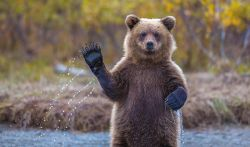 Kumpulan AKSI LUCU Beruang dan Panda yang Berlagak Seperti Manusia!