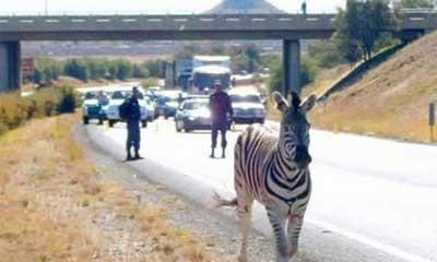 2.Zebra Masuk Tol