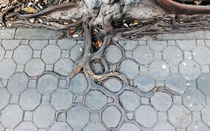 Biasanya pohon yang tumbuh ditengah kota berusia belasan tahun dan akarnya akan menembus beton trotoar.