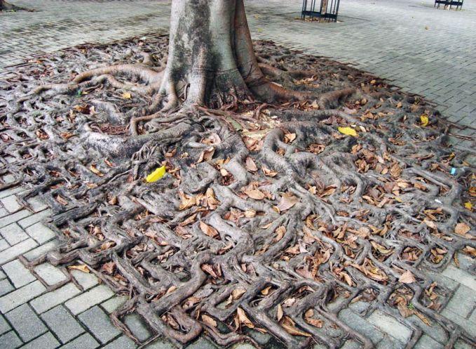 Sebuah pohon yang sangat besar bukan hanya bisa merusak beton, tetapi pohon-pohon ini juga mengkonsumsi hingga setara 100 galon air dari tanah.