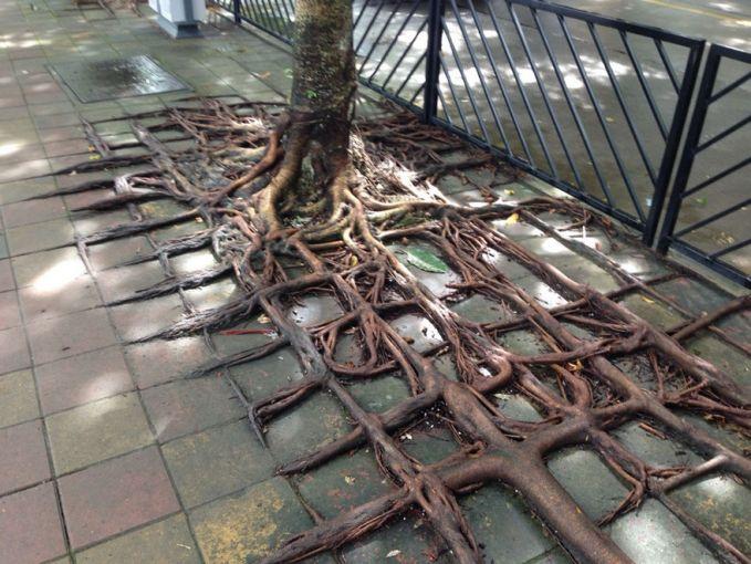 Bahkan sepertinya akar-akar ini bisa berkreasi mengikuti bentuk trotoar yang kotak-kotak.
