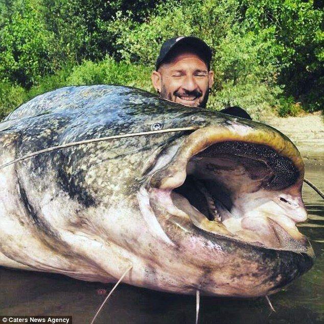 Zamrud Katulistiwa Kumpulan Foto Hasil Tangkapan Dan Memancing Ikan Lele Terbesar