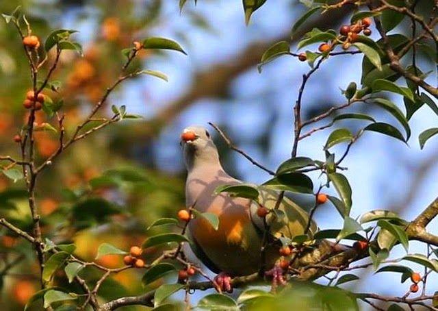 Foto seekor merpati yang lebih banyak menghabiskan waktunya diatas pohon untuk mencari biji bijian yang bisa mereka konsumsi.