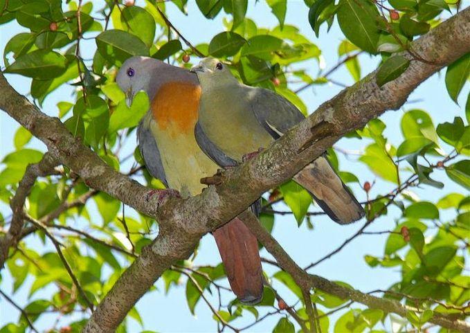mereka biasanya juga menghabiskan waktu berdua dengan pasangan diatas pohon, tidak jarang mereka juga membuat sarangnya di atas sana.