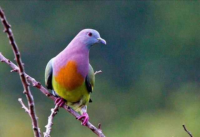 Warna warni indah & cerah ditubuh Burung Merpati ini membuatnya banyak diburu orang untuk di Foto.