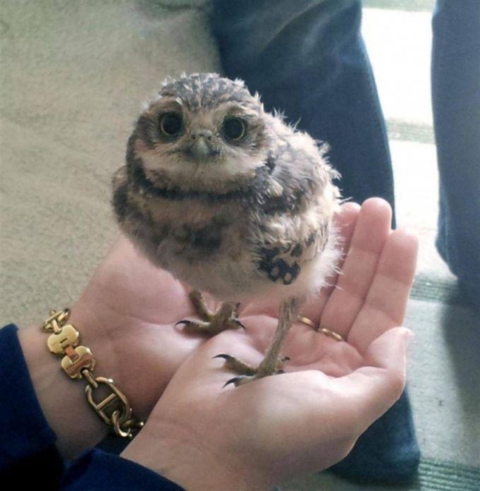 Heii Pulsker..jangan dikira ini anak ayam, ini bayi burung hantu tau..lucu banget kan??