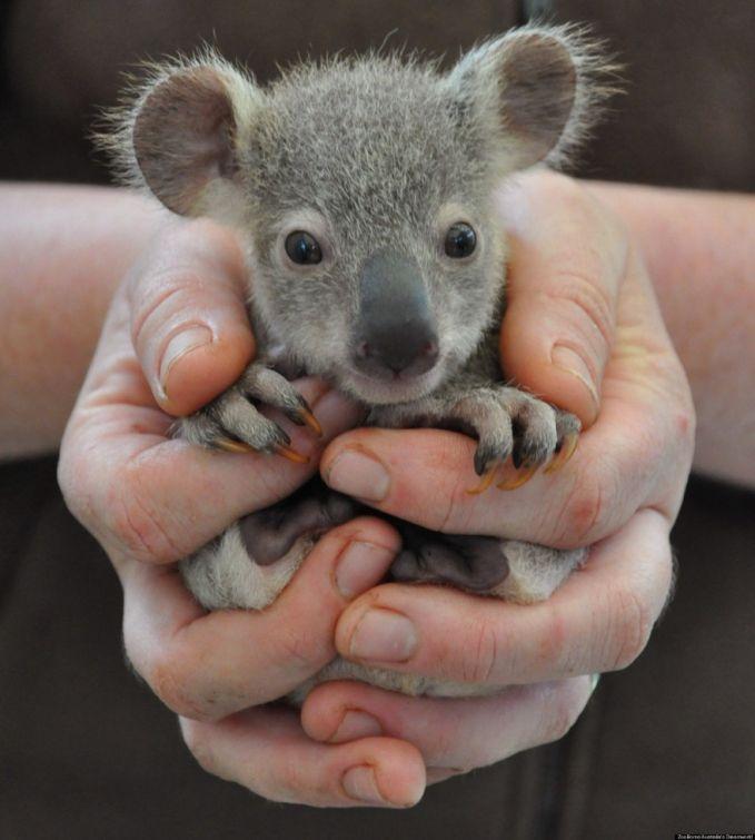 Hayoo tebak ini hewan apa, sepintas mirip tikus ya, tapi kok gede banget. Yuupp ini bayi koala, hewan asli negara Australia.