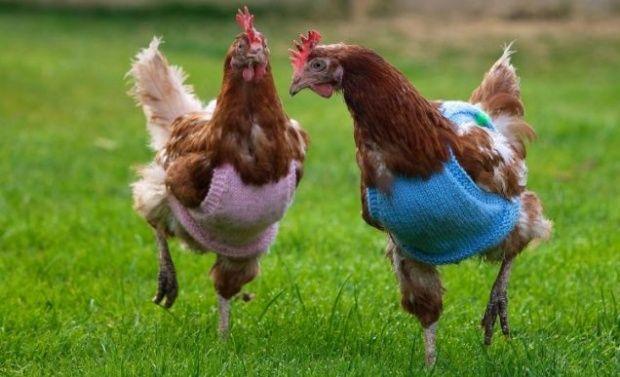 Hasil gambar untuk sweater untuk ayam biar gak kedinginan