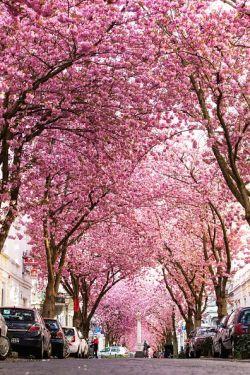 Luar Biasa Indah! Begini Suasana Ketika Bunga Sakura Merekah