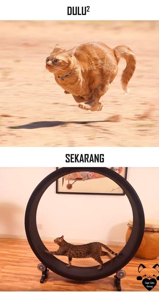 #11 LARI Dulu : kucing lari bebas di lapangan Sekarang : kucing lari di atas treadmill, bahasa kerennya lagi jogging.