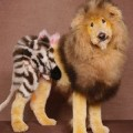 Kumpulan Anjing-Anjing Dengan Gaya Potongan Bulu Yang Luar Biasa Aneh!
