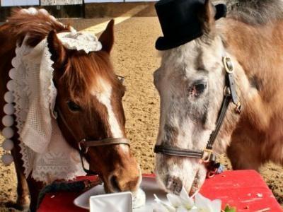 kalo ini adalah pasangan kuda di peternakan amerika yang akhirnya menikah secara resmi hehe