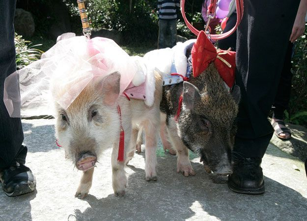 hiii bahkan babi pun melangsungkan ritual pernikahan!