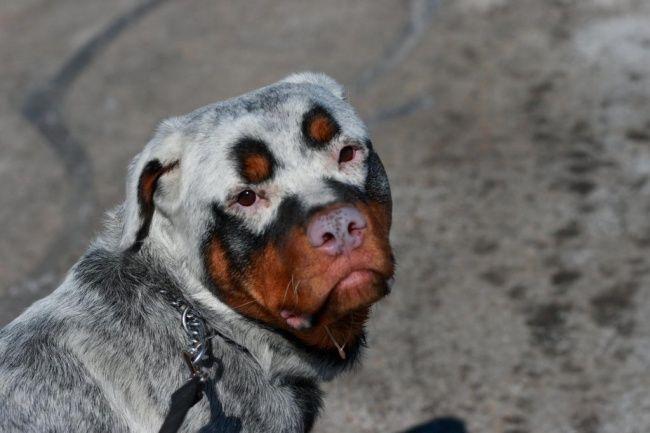 HAH! Anjing jenis Rottweiler ini memiiki warna dan motif wajah yang Unik, seperti pake Topeng.