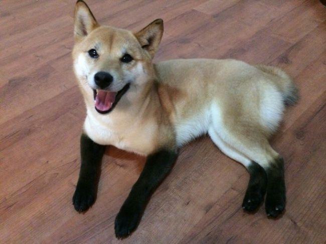Anak Anjing yang satu ini tampak seperti pakai kaos kaki warna Hitam, Gemesin ya!