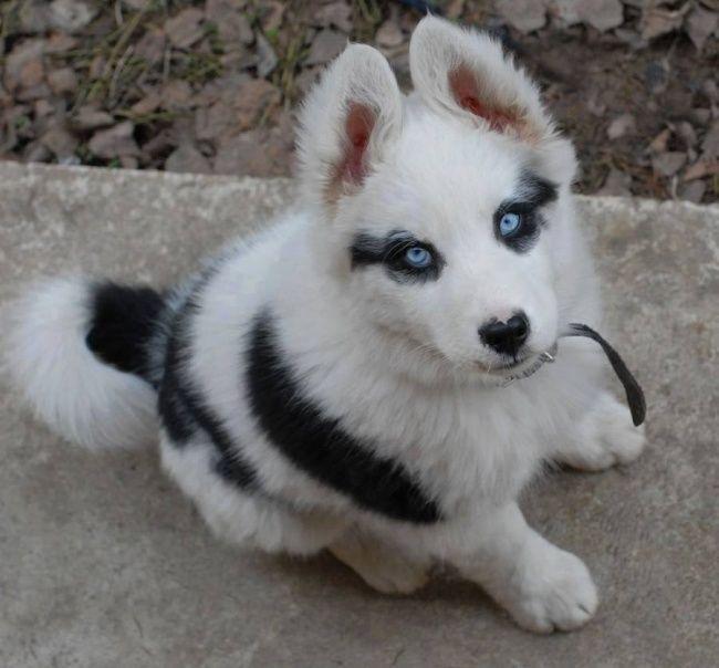Bisa dilihat kan bedanya Si Baby Husky, seperti pake kacamata hitam juga.