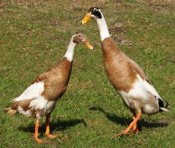 Cara Ternak Bebek Petelur yang Produktif